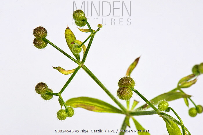 Cleavers (Galium aparine) burrs with hooks tha attach to animal fur and clothes for dispersal. England, UK. July.