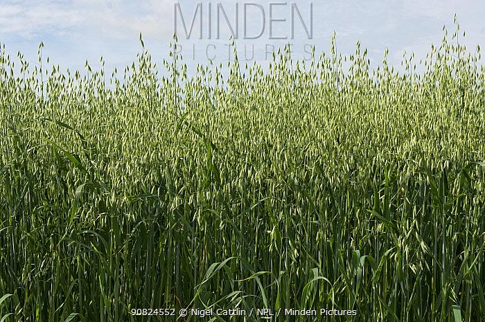 Oat (Avena sativa), green unripe crop. Berkshire, England, UK. July.