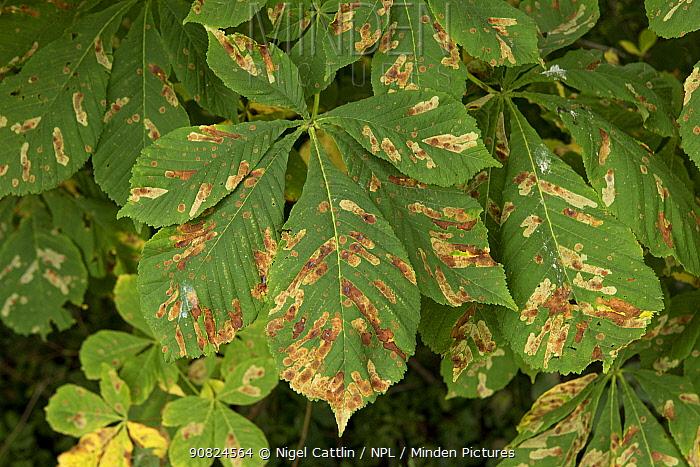 Horse chestnut leaf miner (Cameraria ohridella) larval damage to Horse chestnut (Aesculus hippocastanum) leaves. Berkshire, England, UK. August.