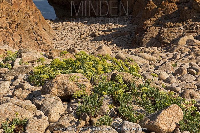 Rock samphire (Crithmum maritimum) amongst red granite rocks on coast. Isola Rossa, Sardinia, September.