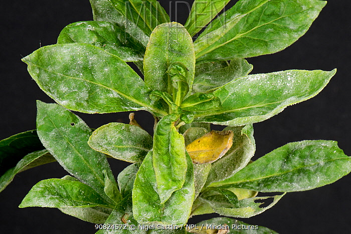 Powdery mildew (Erysiphales) developing on Sweet William (Dianthus barbatus) leaves. Berkshire, England, UK. October.