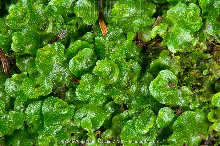 Crescent-cup liverwort (Lunularia cruciata). Berkshire, England, UK. January.
