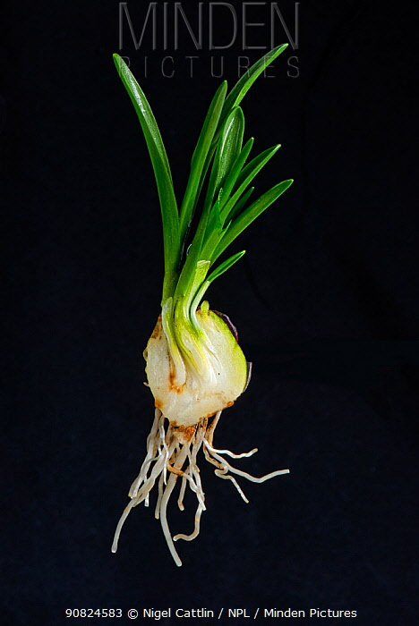 Spanish bluebell (Hyacinthoides hispanica) cross section of bulb with leaf and root development. Cultivated in garden. January.