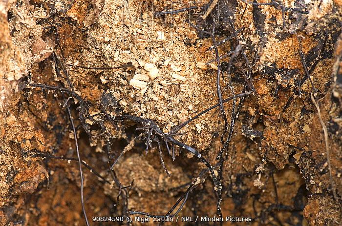 Honey fungus (Armillaria mellea) rhizomorphs / fungal cords on dead core of rotten tree. Berkshire, England, UK. March.