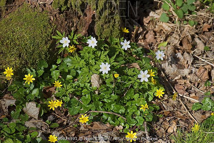 Wood anemone (Anemone nemorosa) and Lesser celandine (Ficaria verna) flowering on woodland floor. Hampshire, England, UK. March.