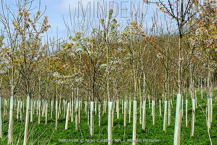 Plantation of young trees including Wild cherry (Prunus avium) and Ash (Fraxinus excelsior) with tree guards, trees to be used in woodland. Berkshire, England, UK. April.
