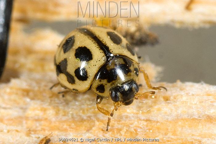 16-spot ladybird (Tytthaspis sedecimpunctata) overwintering on old wood, close up. Berkshire, England, UK. May.