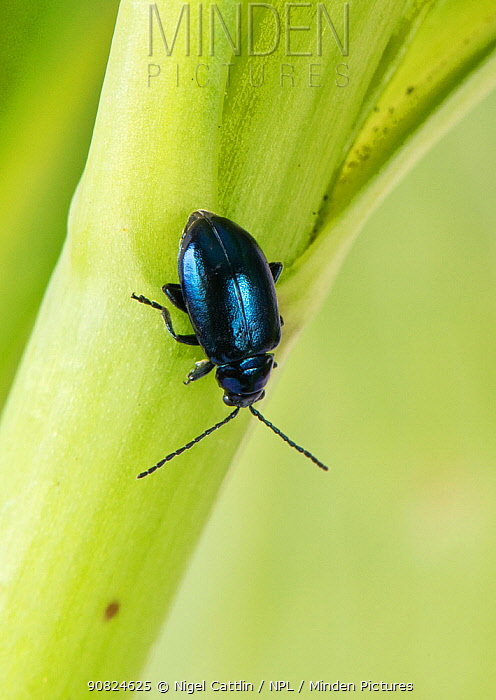 Metallic green flea beetle (Altica sp) walking down stem. Berkshire, England, UK. April.