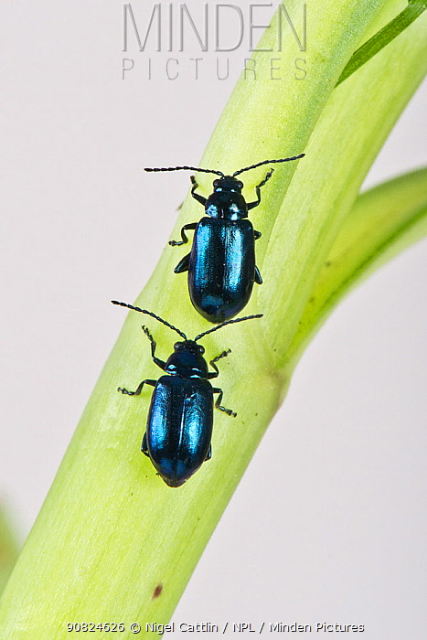 Metallic green flea beetle (Altica sp), two walking one behind the other up stem. Berkshire, England, UK. April.