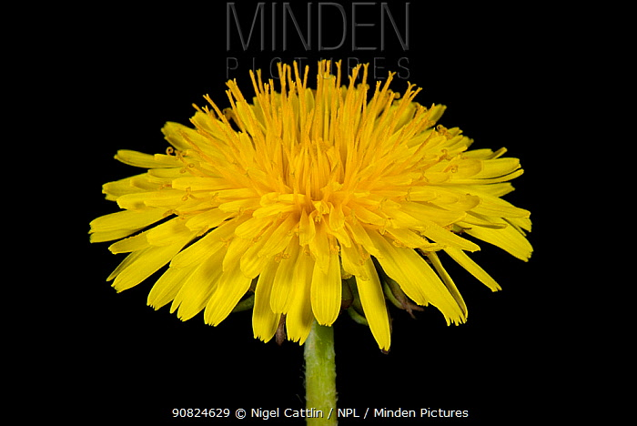 Dandelion (Taraxacum officinale) with disk and ray florets on black background.