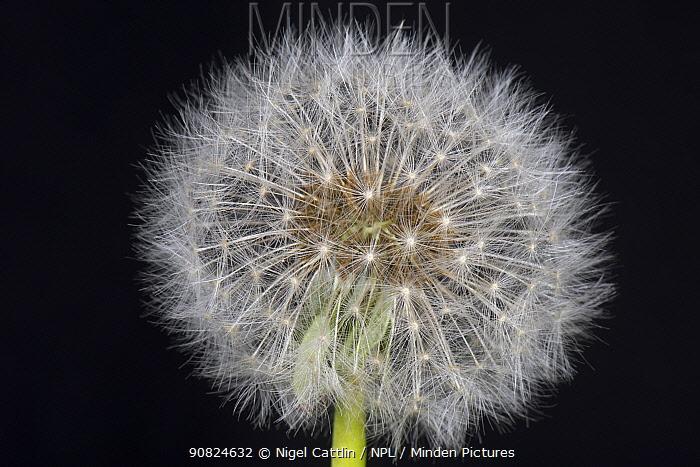 Dandelion (Taraxacum officinale) clock, seed head on black background.