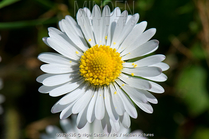 Daisy (Bellis perennis), composite flower with white ray florets and yellow disk florets.