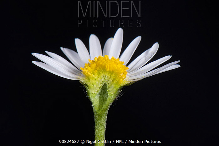 Daisy (Bellis perennis) cross section, composite flower with white ray florets and yellow disk florets.