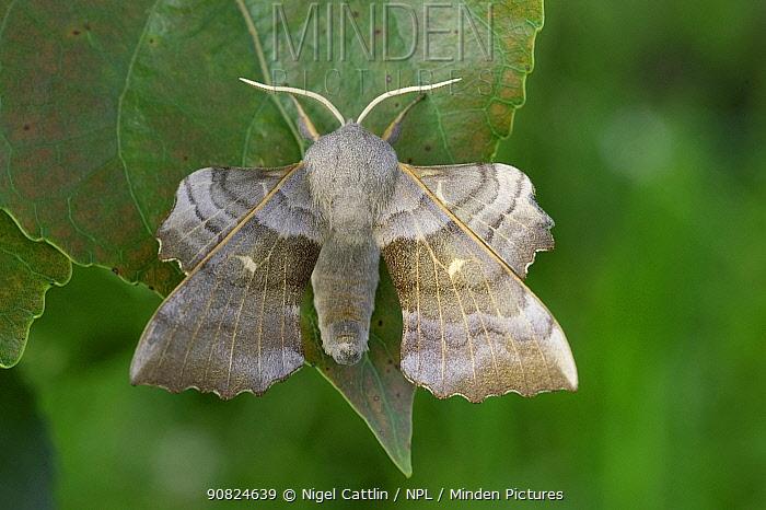 Poplar hawk moth (Laothoe populi) resting on Poplar (Populus sp) leaf. Devon, England, UK. May.