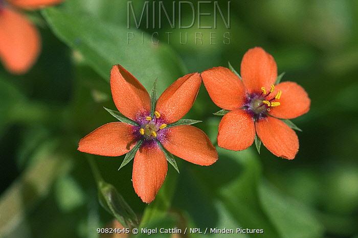 Scarlet pimpernel (Anagallis arvensis). England, UK. September.