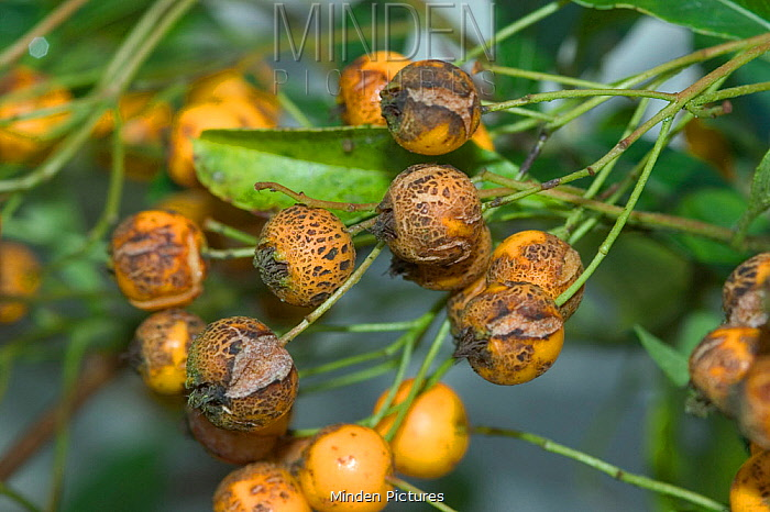 Scab (Venturia inaequalis) disease spots on Firethorn (Pyracantha sp) fruits. England, UK. November.