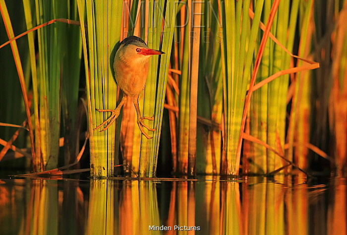 Little Bittern (Ixobrychus minutus) hunting in reeds, Bulgaria. Horizontal version of 01609394. Highly honoured in the Bird Category of the Nature's Best Photography Competition 2019.