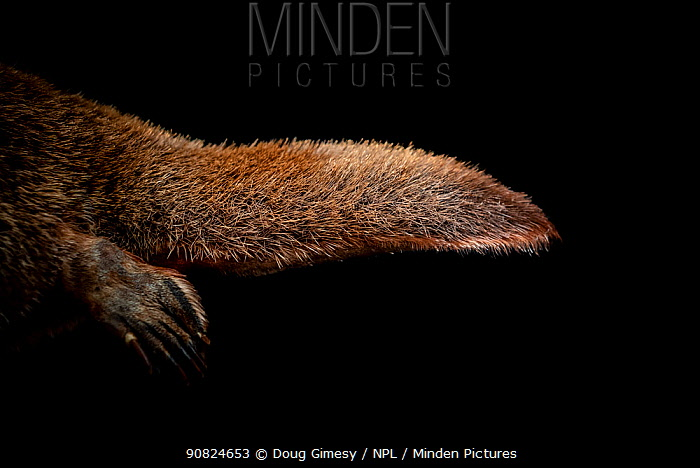Platypus (Ornithorhynchus anatinus) male, close up of hind leg and tail, taxidermied animal. Belgrave, Victoria, Australia. Digitally enhanced image.