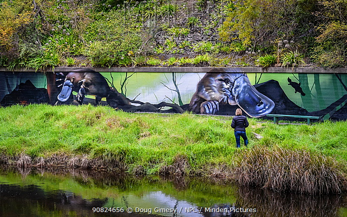 Tourist on Yarra River riverbank looking at Platypus (Ornithorhynchus anatinus) mural painted on wall by artist Jimmy Beattie, part of 'Communities for Platypus program'. ?Warburton, Victoria, Australia. ?June, 2017.