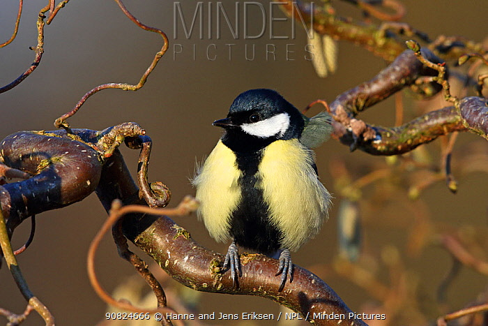 Great tit (Parus major) perched in tree with fluffed up feathers. Denmark, February.
