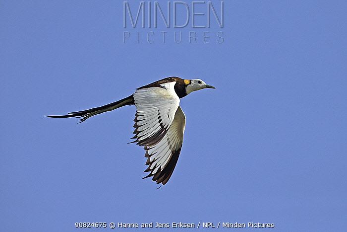 Pheasant-tailed jacana (Hydrophasianus chirurgus) male in breeding plumage, in flight. Oman, July.