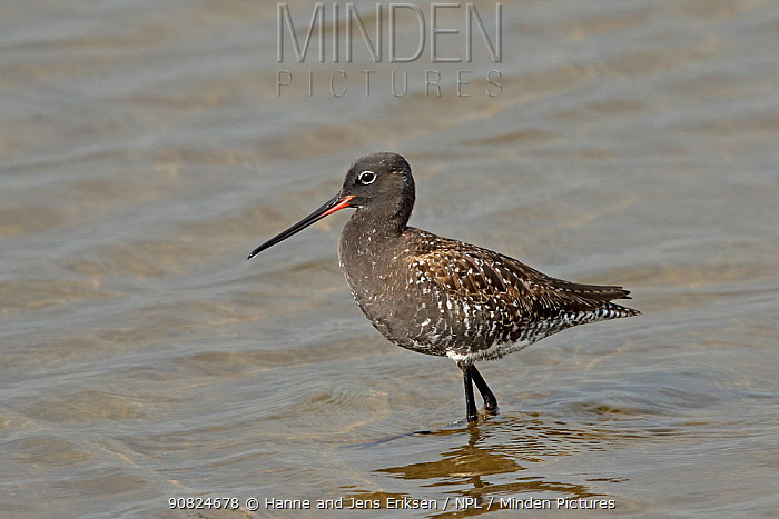 Spotted redshank (Tringa erythropus) in breeding plumage, in shallow water. Denmark, May.
