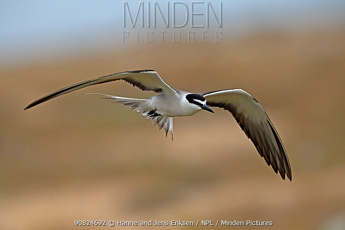 Bridled tern (Onychoprion anaethetus) in flight. Oman, June.