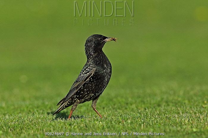 Common starling (Sturnus vulgaris) with food in beak, on lawn, Sweden. May.