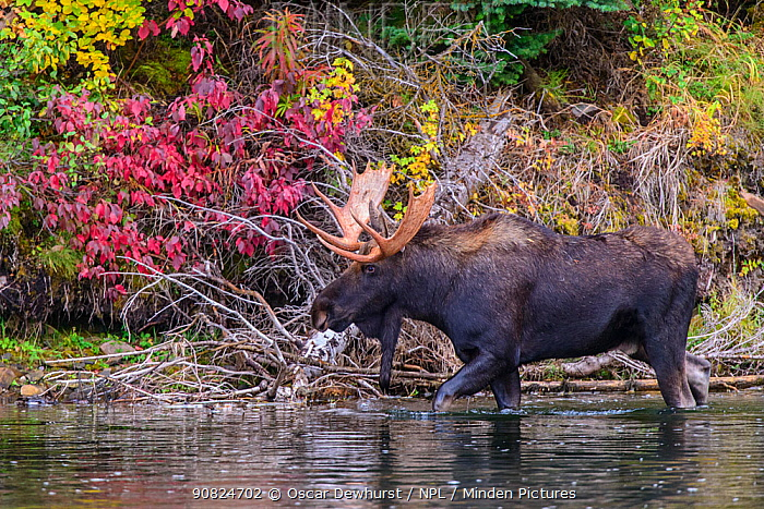 Moose (Alces alces) bull wading in river. Grand Teton National Park, Wyoming, USA. September.