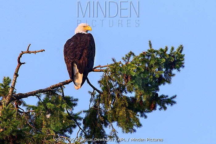 Bald eagle (Haliaeetus leucocephalus) perched in Pine (Pinus sp) tree. British Columbia, Canada. August.