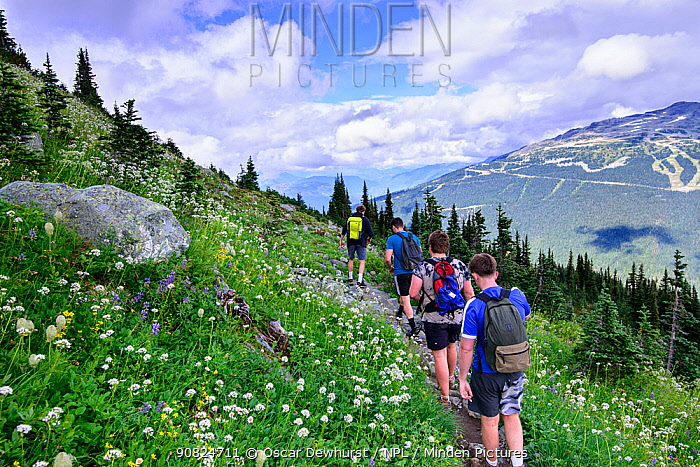 Hikers walking along trail through wildflowers in alpine landscape. Whistler, British Columbia, Canada. August