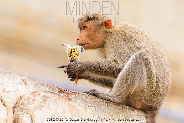 Bonnet macaque (Macaca radiata) feeding on ice-cream stolen from humans. Hampi, Karnataka, India. 2019.