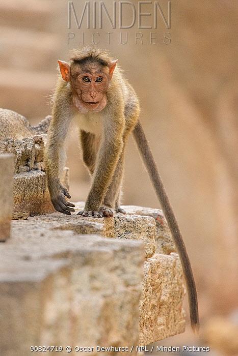 Bonnet macaque (Acridotheres tristis) walking along wall of temple. Hampi, Karnataka, India.