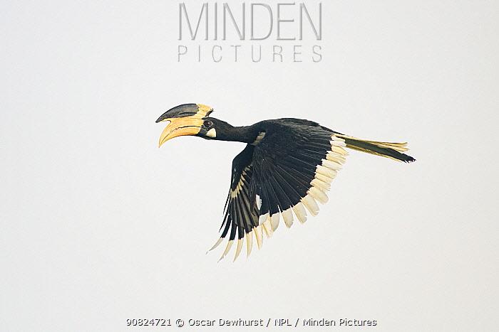 Malabar pied hornbill (Anthracoceros coronatus) male in flight. Goa, India. September.
