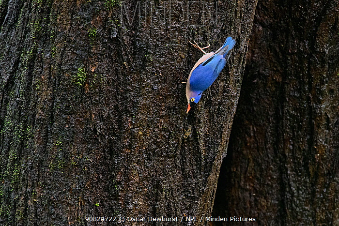 Velvet-fronted nuthatch (Sitta frontalis) on tree trunk. Goa, India.
