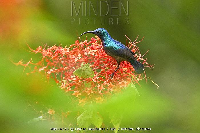 Long-billed sunbird (Cinnyris lotenius) nectaring on flowers. Goa, India. September.