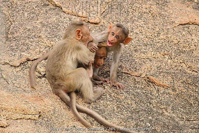 Bonnet macaque (Macaca radiata), three babies play fighting on rock. Karnataka, India.