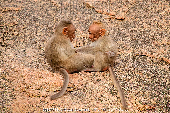 Bonnet macaque (Macaca radiata), two babies playing on rock. Karnataka, India.