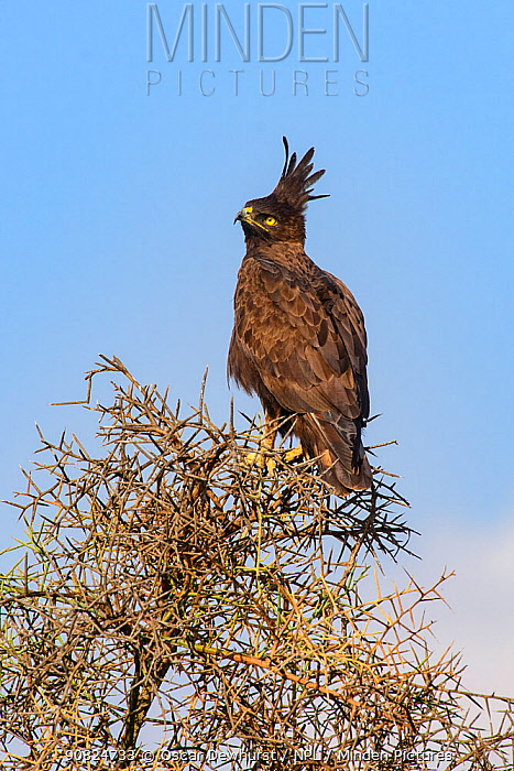 Long-crested eagle (Lophaetus occipitalis) perched on tree. Selenkay Conservancy, Amboseli National Park, Kenya.