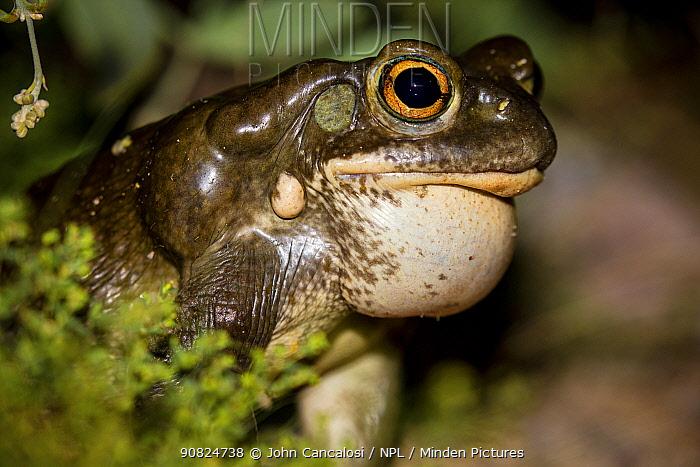 Colorado river toad (Incilius alvarius) male calling to attract females, vocal sac filled with air. Sonoran desert, Arizona, USA. August.