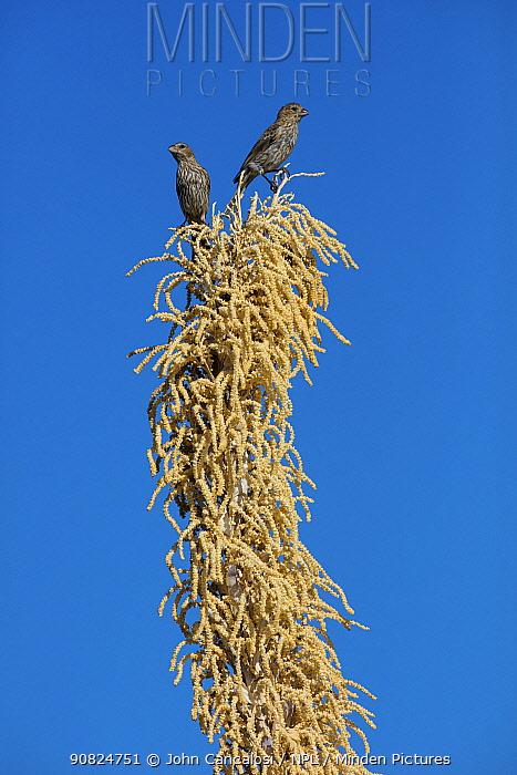 House finch (Haemorhous mexicanus), two females on Sotol (Dasylirion wheeleri). Sonoran desert, Arizona, USA. July.