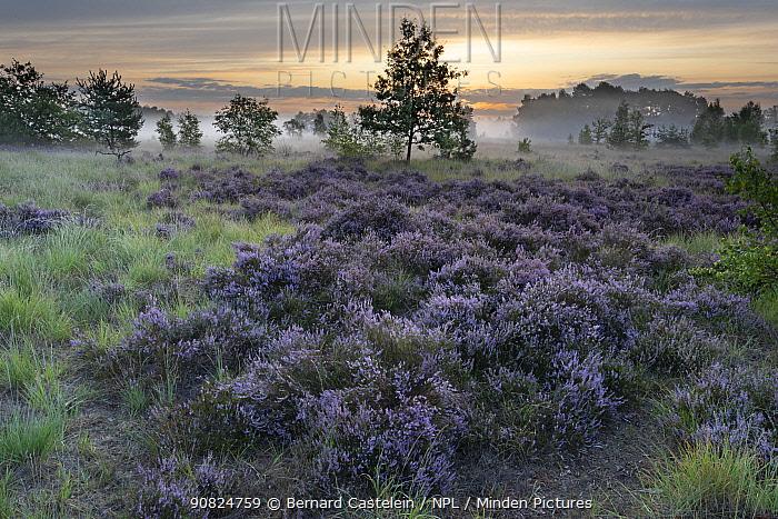 Heathland with Common heather (Calluna vulgaris) and scattered trees, mist in valley at dawn. Klein Schietveld, Brasschaat, Belgium. August 2019.