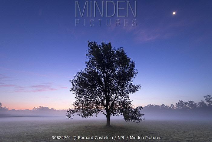 Goat willow (Salix caprea) in mist at dawn, full moon in sky. Klein Schietveld, Brasschaat, Belgium. August 2019.