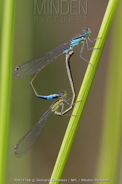 Blue-tailed damselfly (Ischnura elegans) pair mating on stem. Brasschaat, Belgium. August.