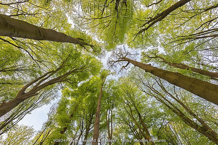 Beech (Fagus sylvatica) forest, view into canopy from below. Peerdsbos, Brasschaat, Belgium. April 2019.