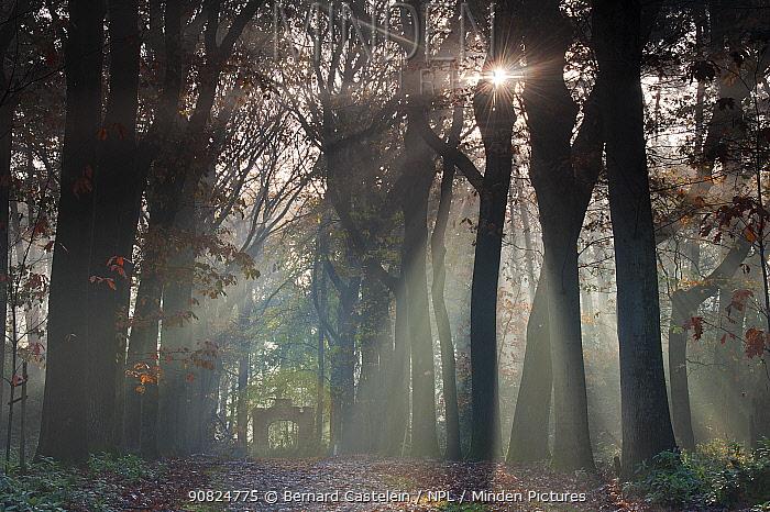 American oak (Quercus rubra) trees in avenue, sun shining through. Peerdsbos, Brasschaat, Belgium. November 2013.