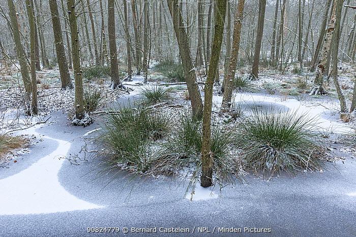 Frozen pond with encroaching trees and tussocks. Peerdsbos, Brasschaat, Belgium. January.