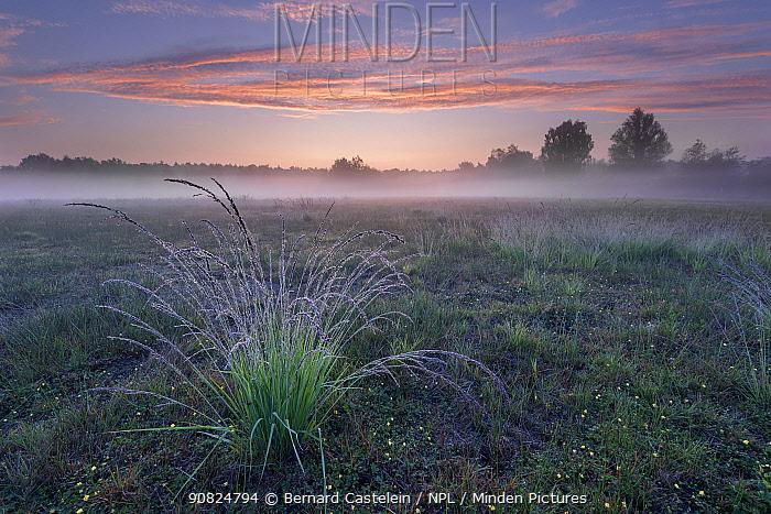Purple Moor-grass (Molinia caerulea) tussock in grassland, on misty morning. Klein Schietveld, Brasschaat, Belgium. August 2019.
