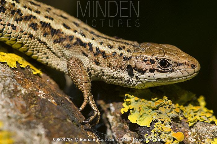 Viviparous lizard (Zootoca vivipara), male on lichen covered rocks, portrait. Cote d'Opale / Opal Coast, France. May.