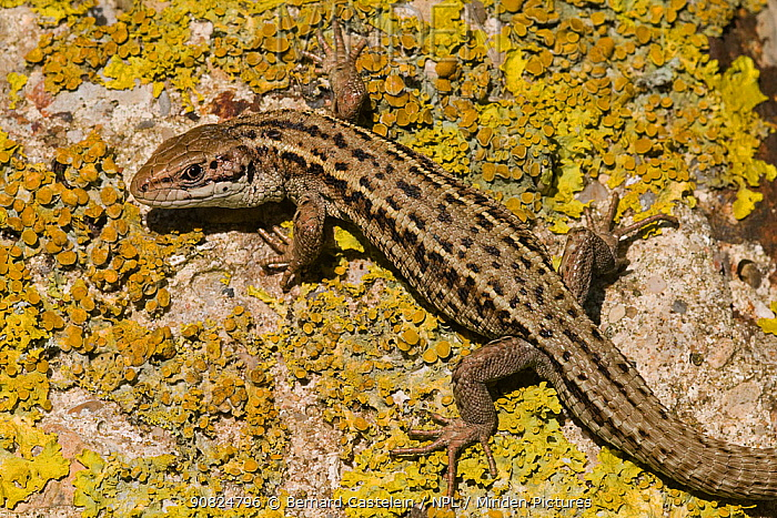Viviparous lizard (Zootoca vivipara), male basking on lichen covered rock. Cote d'Opale / Opal Coast, France. May.